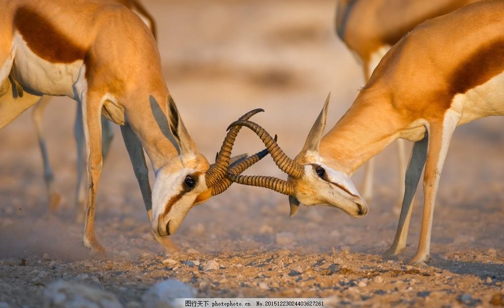 炫酷羚羊 唯美 动物 野生 可爱 保护动物 野生羚羊 藏羚羊 摄影