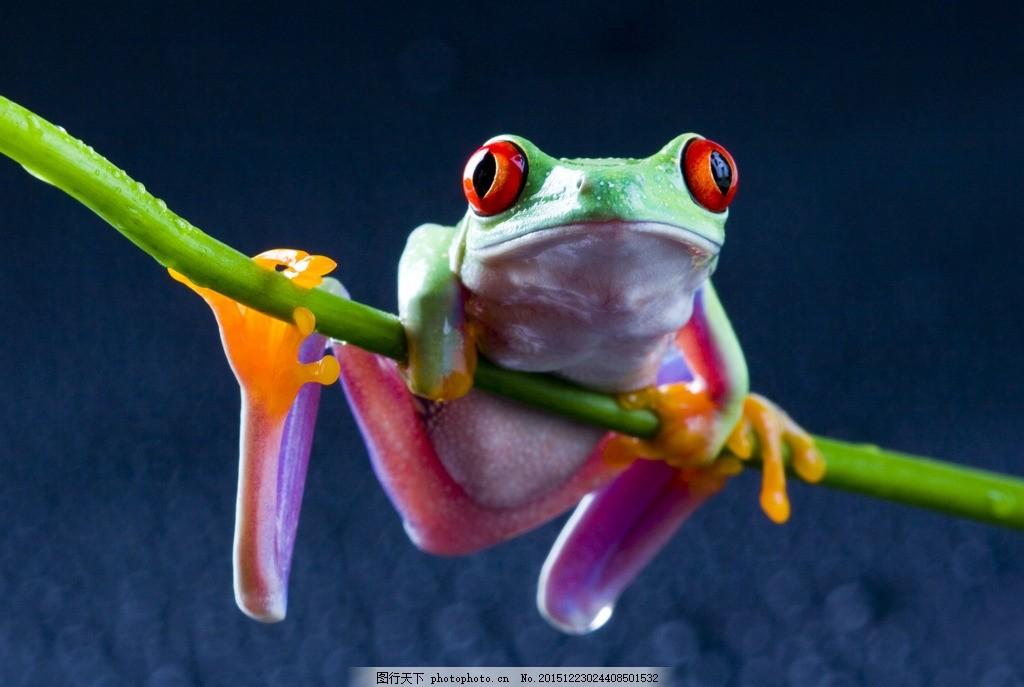 炫酷树蛙 唯美 炫酷 树蛙 蛙类 毒蛙 可爱 摄影 生物世界 野生动物