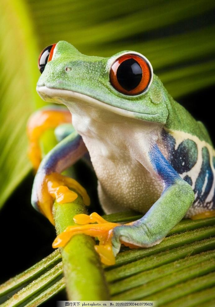 炫酷树蛙 唯美 炫酷 树蛙 动物 可爱 蛙类 摄影 生物世界 野生动物