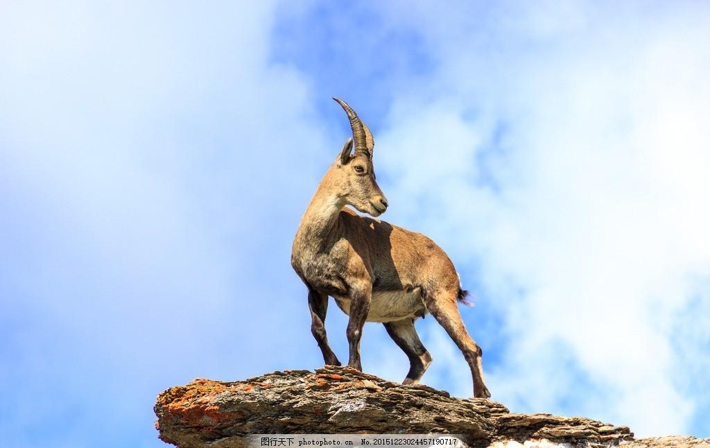 炫酷羚羊 唯美 动物 野生 可爱 保护动物 藏羚羊 摄影