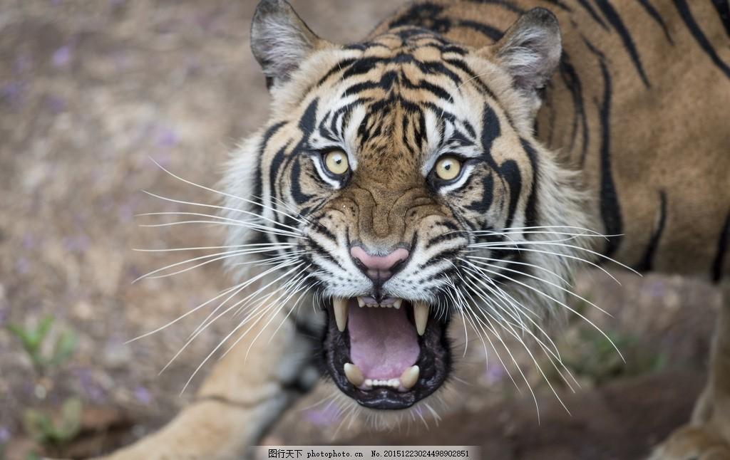 凶猛的老虎 唯美 炫酷 动物 可爱 野生 摄影