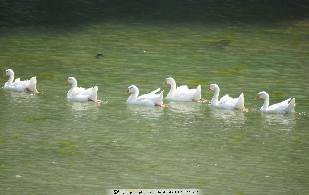 鸭子 群鸭 游水 弄波 大白鸭 戏水 黑白红照片集 摄影 生物世界 鸟类