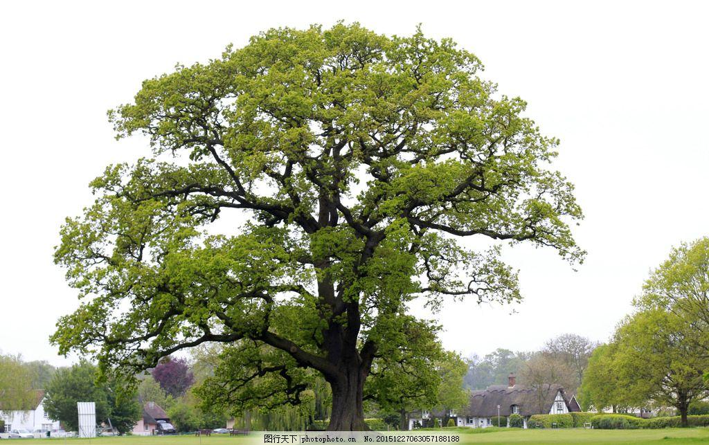 大树 树木 绿地 草地 公园 大树图片 摄影 自然景观 自然风景 72dpi j
